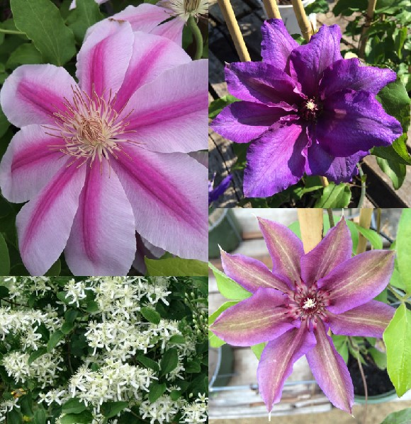 Morrisons Home and Garden | Agway | Field-notes | Clematis